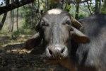 INDIA`S COW